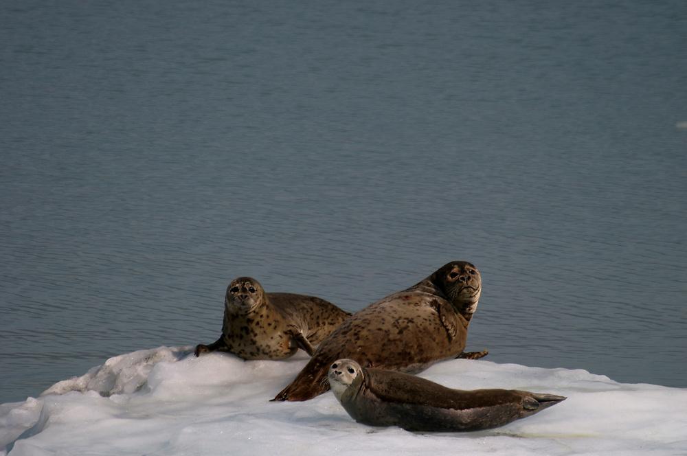 Harbor seals (Phoca vitulina) haul on for a rest on an iceberg.