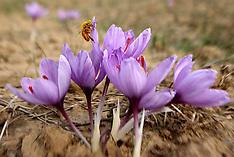 NOV 06 2013 Saffron Flowers