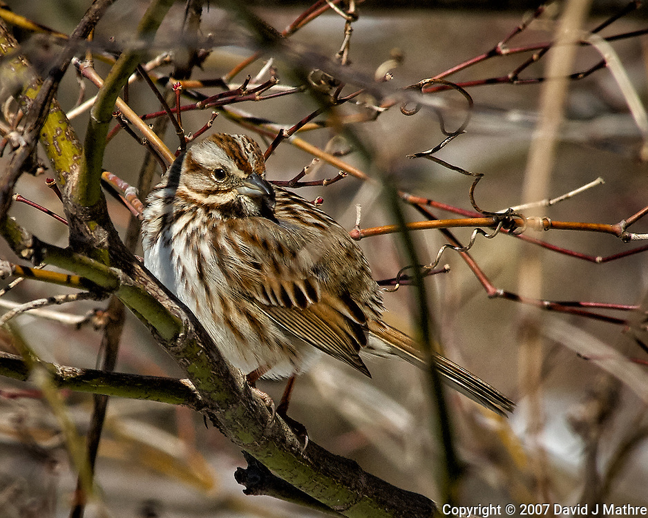 Sparrow hiding in the bushes. Late winter backyard wildlife in New Jersey. Image taken with a Nikon D2xs camera and 80-400 mm VR lens (ISO 400, 400 mm, f/12, 1/500 sec).