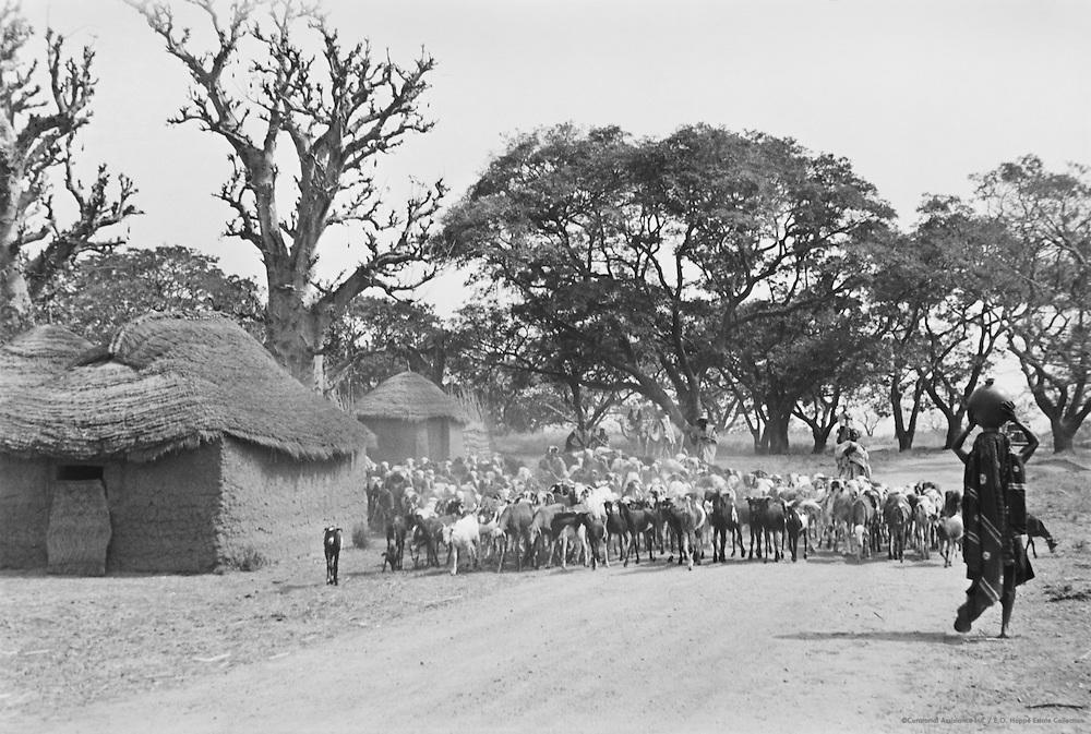 Herding Sheep, Zaria, Nigeria, Africa, 1937