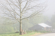 white ash and barn in fog