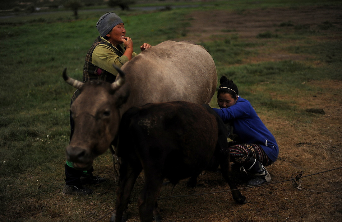 A Mongolian herder milks her cows in the late afternoon. The size of the livestock holdings of most families, particularly newcomers who have migrated from urban centers, is well below the subsistence level. For a sustainable livelihood over the long term, a family of herders needs at least 10 heads of cattle or yak or 70 sheep. Yet when livestock collectives were disbanded in the early 1990s, about 20 percent of families, many of them headed by women, received fewer than 10 animals. — © Jeremy Lock/USAF