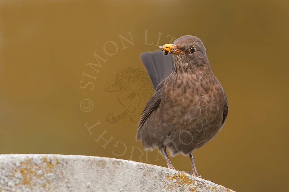 European Blackbird (Turdus merula) adult female, UK