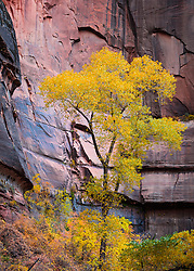 Fremont Cottonwood tree. Zion National Park in Utah.