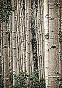 Birch trees in the Wasatch Mountain Range in Utah.