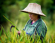 The early rice harvest begins in Nakhon Nayok, Thailand. PHOTO BY LEE CRAKER