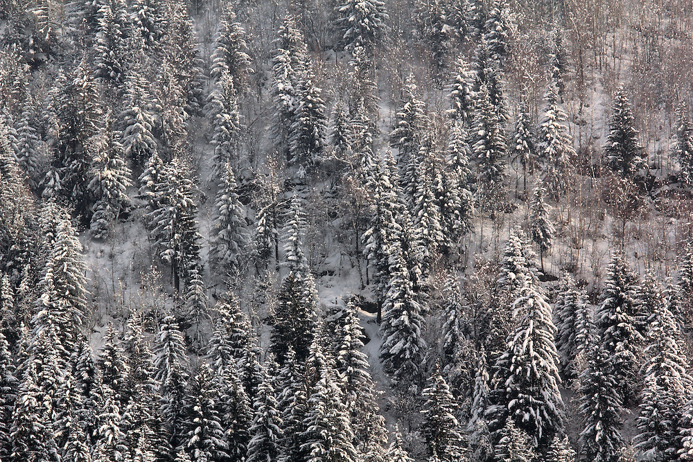 Snowy Trees near Chamonix, a ski resort in the French Alps