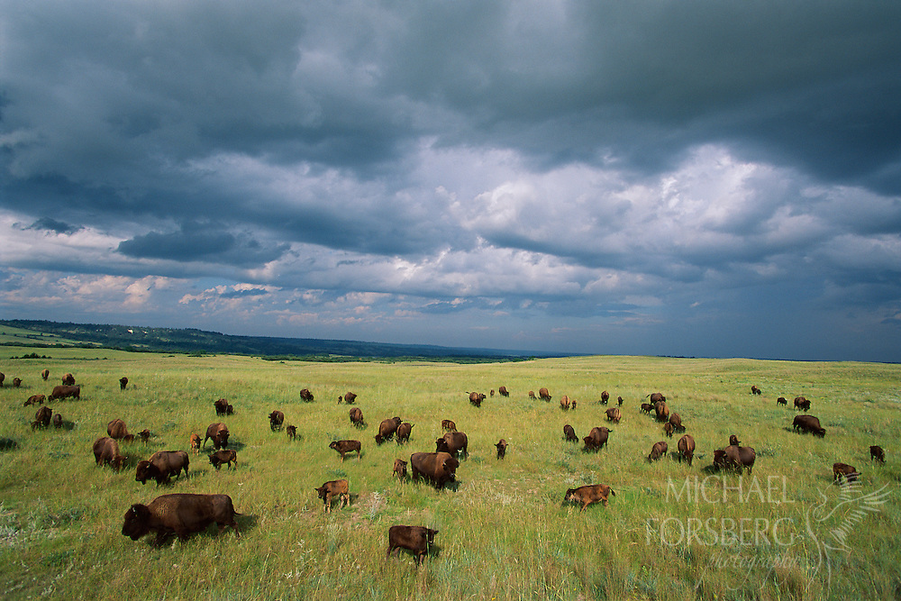 Bison herd in the Niobrara Valley Preserve, Nebraska.