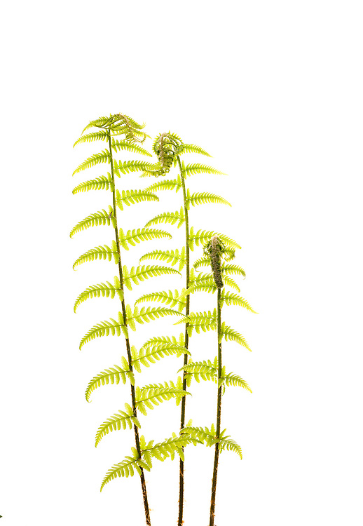 Emerging male fern, Scotland
