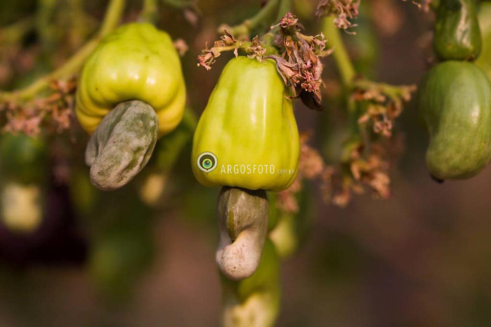 Cajuzinho do cerrado (Cerrado's cashew).Cerrado em Goias,Brasil. Brazilian Tropical Savanna (cerrado) in Goias state.