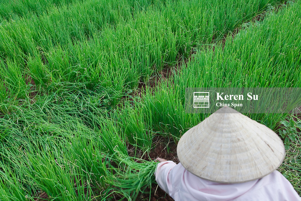Farmers with conical hat harvesting green onions.