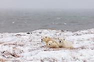 Mother polar bear (Ursus maritimus) and cubs resting on Barter Island near Kaktovik in the Arctic National Wildlife Refuge in the Far North of Alaska. Autumn. Morning.