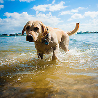 SARASOTA, FL -- October 2012 -- A pan plays in the waters off City Island in Sarasota, Florida.  (PHOTO / CHIP LITHERLAND)
