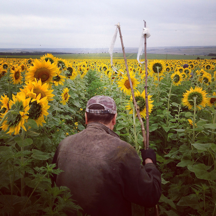 A local coal miner searches for wreckage and human remains from the crash of Malaysia Airlines flight 17 in a sunflower field on Friday, July 18, 2014 in Grabovo, Ukraine.