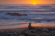 Northern elephant seals at sunset on beach Piedras Blancas, CA