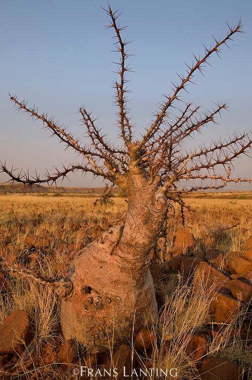 Desert plant, Palmwag, Torra Conservancy, Damaraland, Namibia