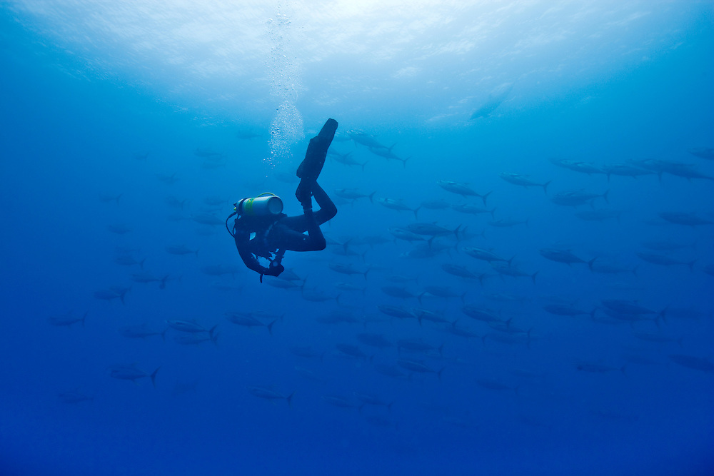 Ecuador, Galapagos Islands, Darwin Island, Underwater view of lone Scuba Diver and a school of Yellowfin Tuna (Thunnus albacares)