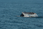 Gray Whale dives off Los Angeles, CA during its migration back to the Bering Sea