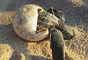 356101-1017 ~ Copyright: George H.H. Huey ~ Leatherback hatchling (Dermochelys schlegeli) emerging from egg. Michoacan, Mexico.