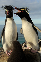 Meist ist ein Elterntier gerade auf See, aber zwischendurch trifft sich das Felsenpinguin-Paar (Eudyptes chrysocome) immer wieder kurz beim Küken. | Most of the times one of the adults is at sea, but inbetween the rockhopper penguin couple (Eudyptes chrysocome) meets for a short time by the chick.
