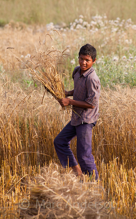 Nepalese boy harvesting wheat, Bardiya, Nepal