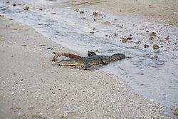 A small saltwater crocodile (Crocodylus porosus) on the beach at Hall Point in Deception Bay.