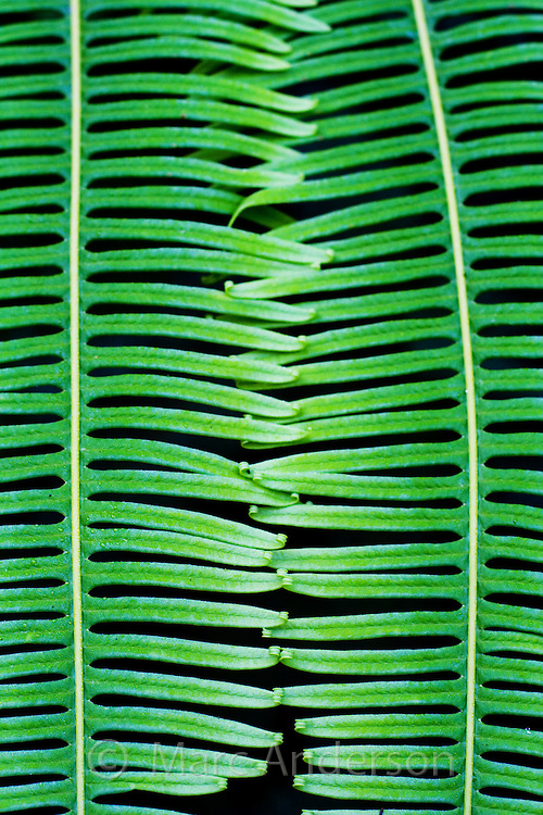Close up detail of two interlocking fern fronds, Taman Negara National Park, Malaysia.