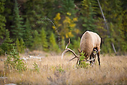 bull elk racking the ground during the rut, peeing