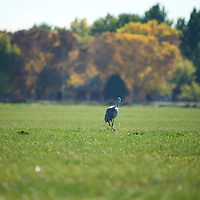 A Sandhill crane takes a stroll through the Valle de Oro wildlife refuge on a fall afternoon.