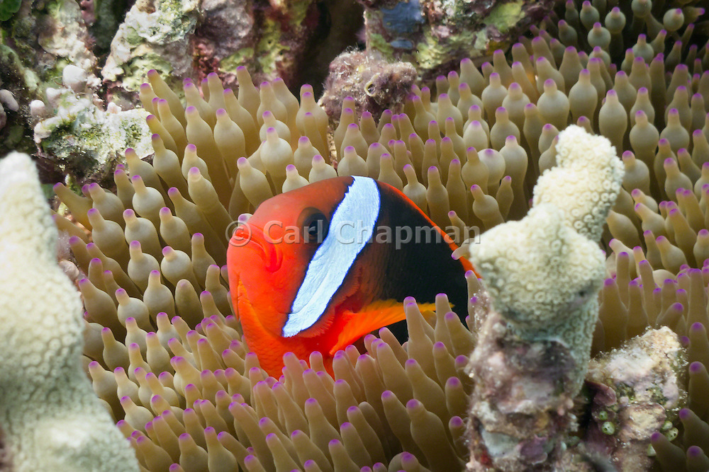 Red Black Anemonefish (Amphiprion melanopus) in Bulb Tentacle Sea Anemone (entacmaea quadricolor) - Agincourt Reef, Great Barrier Reef, Queensland, Australia.