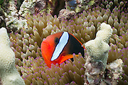 Red Black Anemonefish (Amphiprion melanopus) in Bulb Tentacle Sea Anemone (entacmaea quadricolor) - Agincourt Reef, Great Barrier Reef