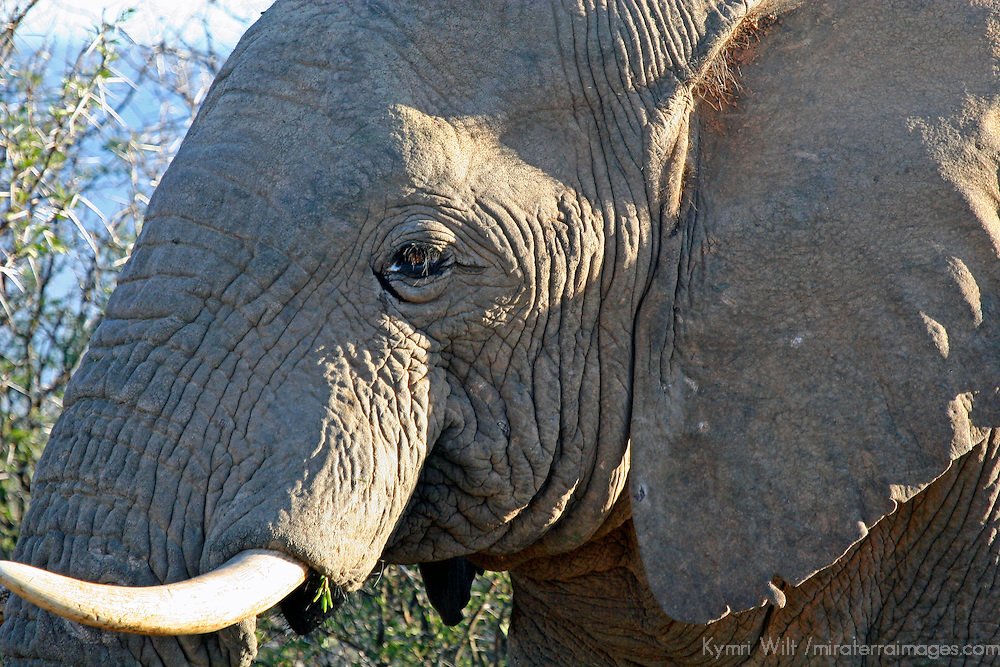 Africa, South Africa, Kwandwe. African Elephant, one of the BIg 5 of wildlife game at Kwandwe Private Game Reserve.