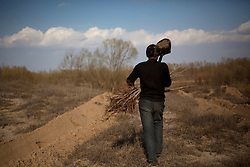 Mongolian ethnic minority farmer Gao Huang carries tree saplings for planting in the Taminchagan desert in Kunlun Qi in the Inner Mongolia Autonomous Region of China on 23 April 2011. The 16-year-old farmer and his family has been planting trees around their land, buying saplings on their own, in an effort to protect their crops from the encroaching sands of the desert. Inner Mongolia, China's third largest province, is fighting severe desertification, much like the provinces of Xinjiang, Gansu, Qinghai, Ningxia, Shaanxi, Heilongjiang and Hebei. Over-grazing, logging, expanding farms and population pressure, along with droughts have steadily turned once fertile grasslands into sandy plains. China has adopted measures to stop the land degradation such as reforestation, resettling nomadic Mongolians from grasslands to urban areas and restricting grazing areas. Tree planting has become a key government effort to combat desertification and supporting the government's reforestation endeavors are numerous non-governmental organizations (NGOs), such as Shanghai Roots & Shoots. The NGO launched the Million Tree Project in 2007 in Kulun Qi with aims to plant its first million trees by 2014 to hinder the expanding desert. To-date, they have planted more than 600,000 trees.