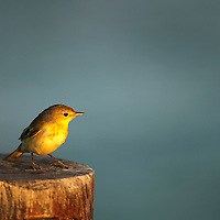 A male yellow warbler, common to the Galapagos, rested on a fence post on Isabela island on 6/22/09.
