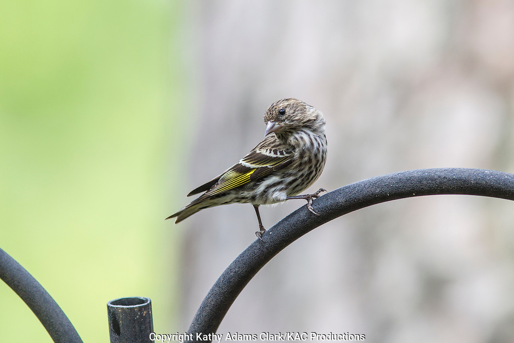 Pine Siskin perching on  feeder pole, The Woodlands, Texas, spring.