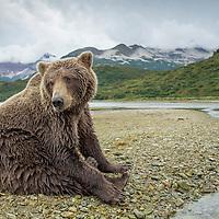 USA, Alaska, Katmai National Park, Coastal Brown Bear (Ursus arctos) sitting on haunches on tidal flats along salmon spawning stream by Kinak Bay