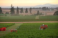 Calyx Mechanized blueberry harvest, Amity, Oregon