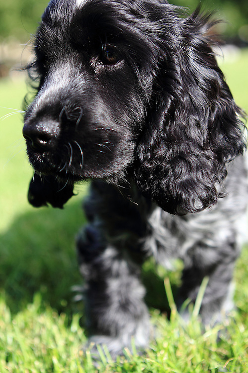 Henry, the blue roan cocker spaniel puppy