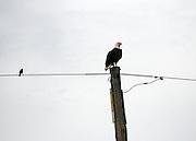 Bald Eagle perched on phone pole with blackbird, Jekyll Island causeway.