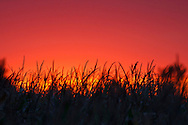 Sun sets over a corn field in Martin, Ohio.