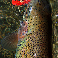 Rainbow trout caught on a red hopper pattern in August.