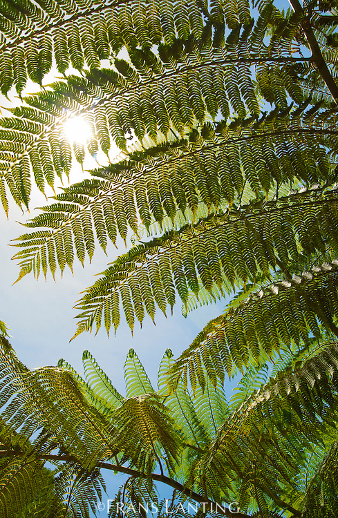 Sunlight on tree ferns, Atherton Tableland, Queensland, Australia