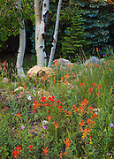 The boles of aspen trees and Indian Paintbrush wildflowers on the North Rim of Grand Canyon National Park.