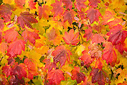 Vine Maple with fall color; McKenzie River National Recreation Trail near Clear Lake, Willamette National Forest, Oregon.