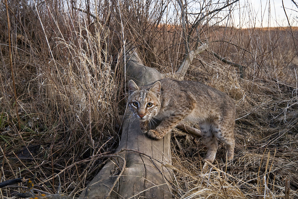 """Captured on film by a """"camera trap,"""" a female bobcat pauses along a creek drainage in tallgrass prairie. The bobcat is the most abundant wildcat in the United States and can adapt to diverse habitats such as woodlands, forests, swamps, deserts, agricultural lands and even suburban areas.  Though relatively common in parts of the Plains, bobcats are solitary, nocturnal, and well camouflaged by the way their coats perfectly match their surroundings, so they are rarely seen by humans.  Bobcats, named for their """"bobbed"""" tails, are roughly twice the size of a house cat, and usually eat rabbits, birds, mice, squirrels, and other small game.  In some areas, bobcats are still hunted for sport and fur, and although they are not considered threatened with extinction; their populations must be closely monitored.  Audubon Spring Creek Prairie, Nebraska."""