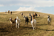 Horse (Equus caballus) herd and mules moving from winter pasture to summer pasture, Montana