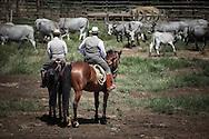 Butteri separating cows in the Tenuta dell'Uccellina park in Maremma (GR)