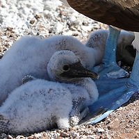 Blue-Footed Booby with chick( Sula nebouxii excisa)