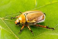 Goldsmith Beetle (Cotalpa lanigera)<br /> TEXAS: Sabine Co.<br /> Brookeland near Lake Sam Rayburne<br /> 7-April-2016<br /> J.C. Abbott &amp; K.K. Abbott #2791