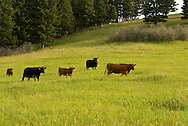 Red and Black Angus cows and calves, Montana